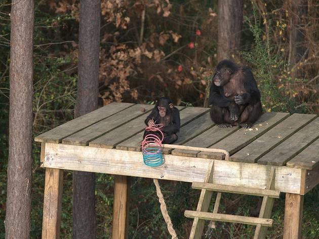 Conociendo a los chimpancés