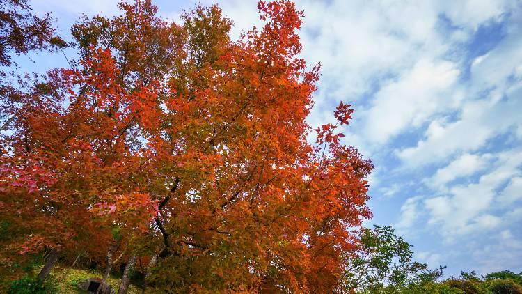 Wu Kau Tang Kau Tam Tso  fall leaves