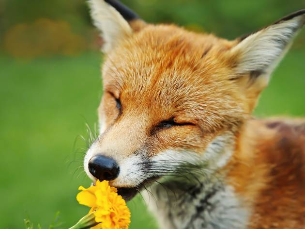a fox smelling the wild flowers in the UK