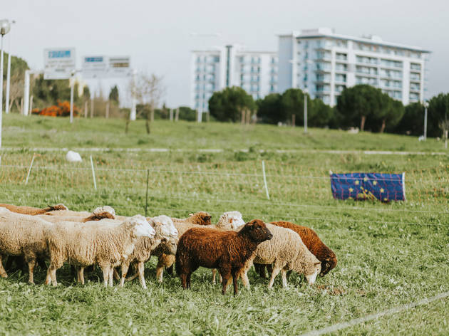 Ovelhas a pastar em Lisboa