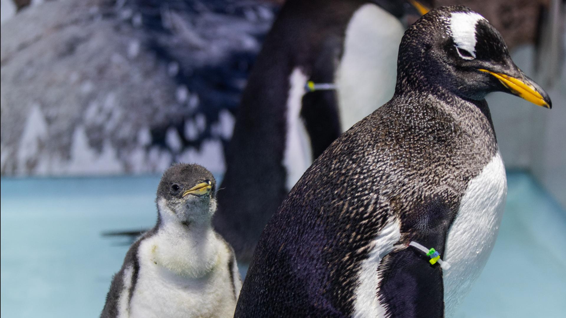 Retrato de un pingüino recién nacido y su familia
