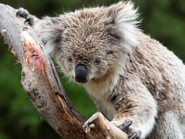 Koala at Phillip Island Conservation Centre