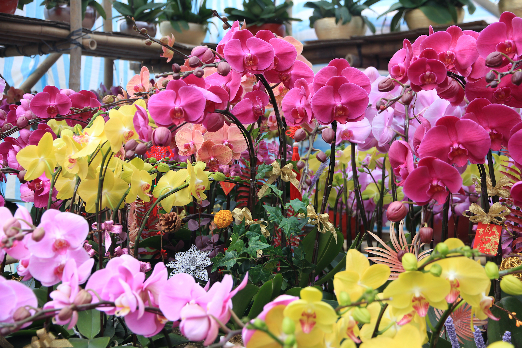 CNY orchids