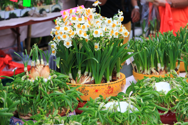 CNY Narcissus