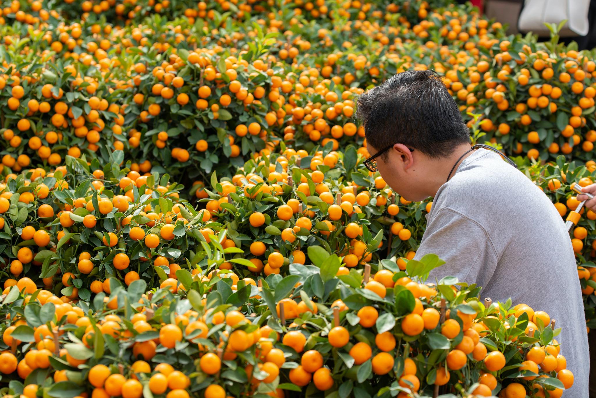 CNY Mandarins and tangerines