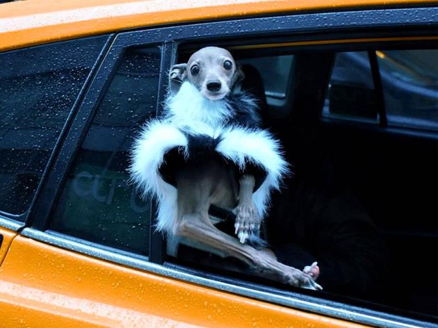 Cão, Galgo Italiano, Tika, LGBT