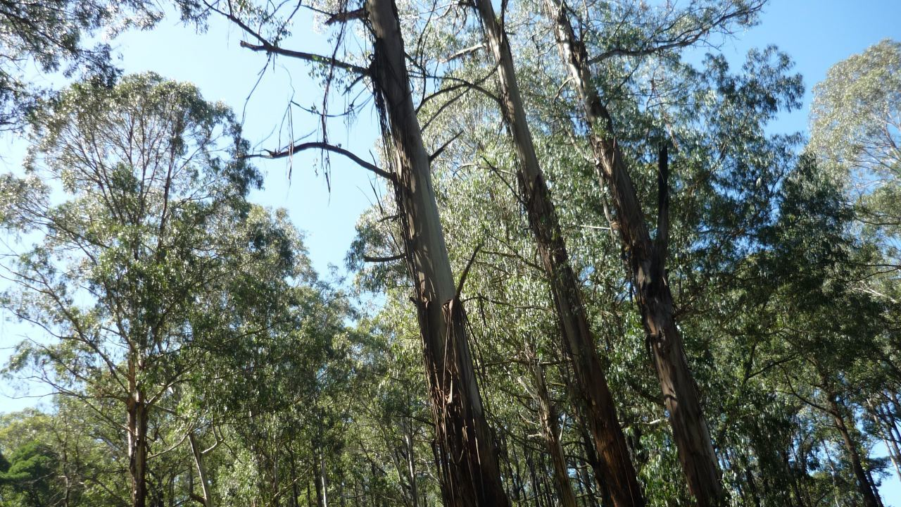 Toolangi State Forest, Vic
