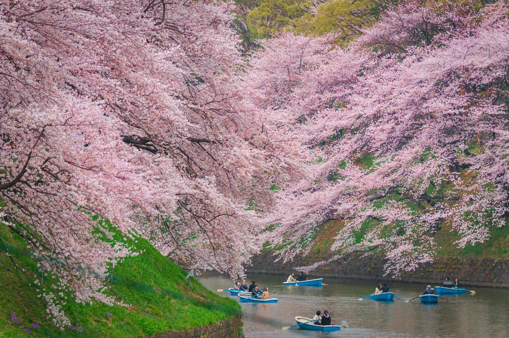 Photo: Navapon Plodprong/Dreamstime | Sakura at Chidorigafuchi Moat