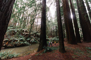 Californian Redwood (Beech Forest) - Otways