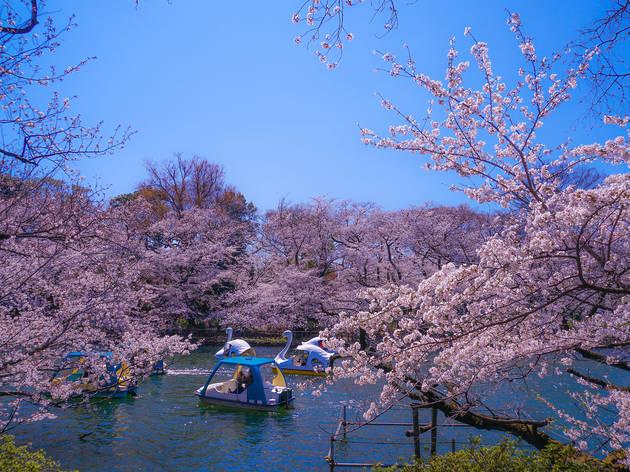 Inokashira Park sakura