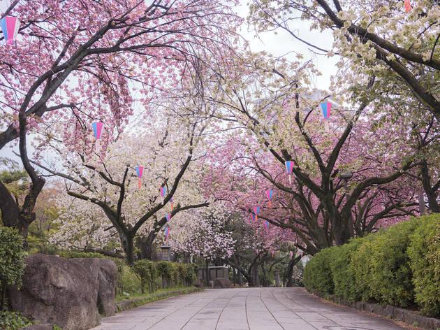 Asukayama Park sakura