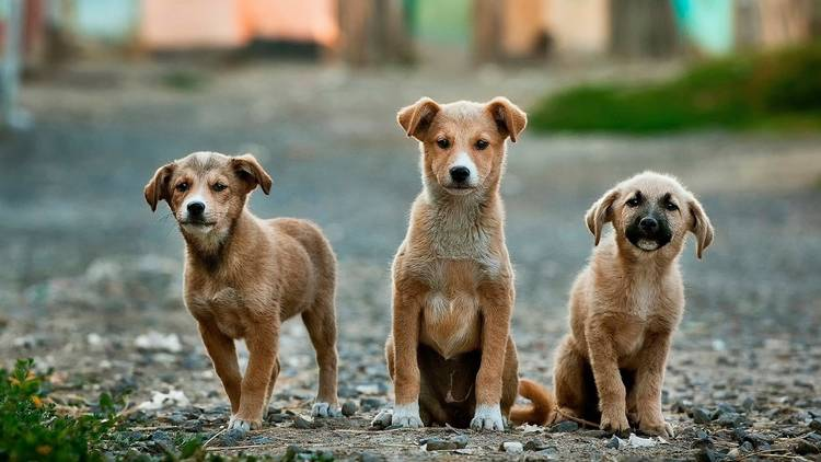 adoptar cães
