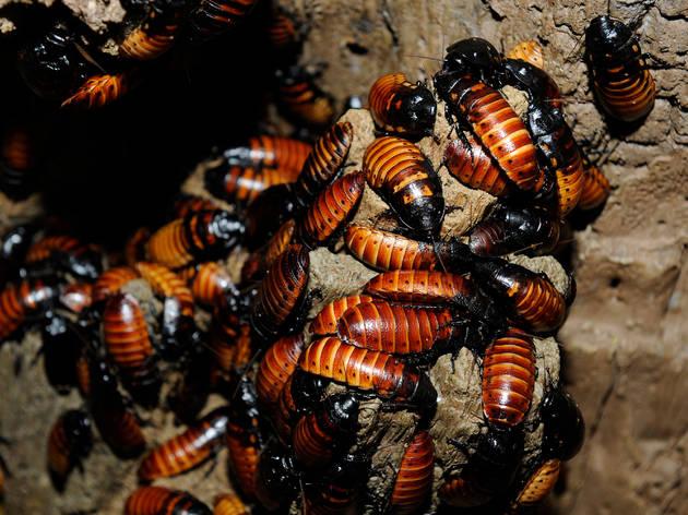 name a roach madagascar hissing roach