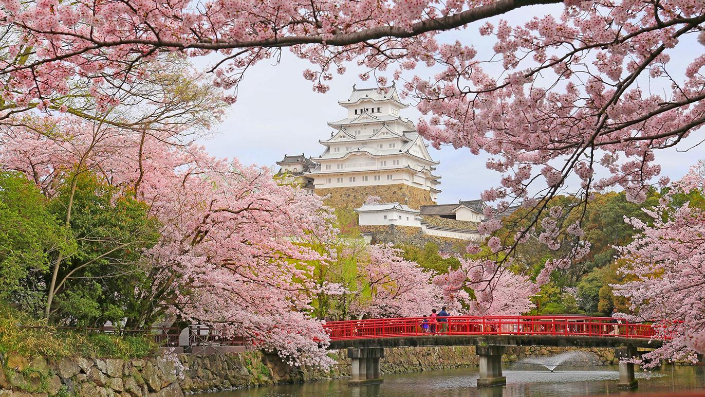 Himeji Castle, cherry blossoms