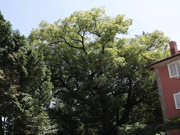 Canforeira do jardim da CCDR-N
