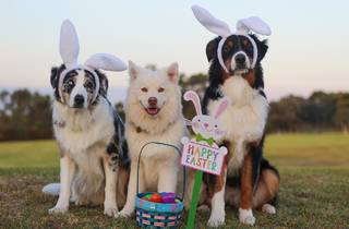Three dogs dressed with bunny ears and a basket filled with plastic eggs