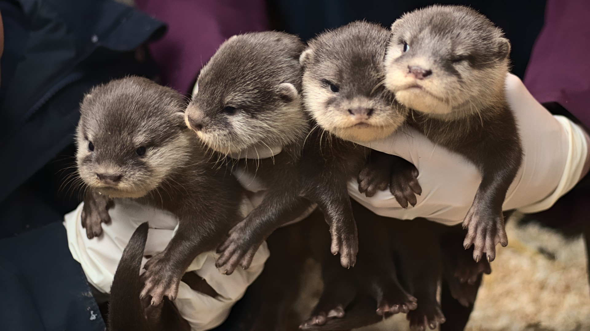 four otter cubs being held at Battersea Park Zoo