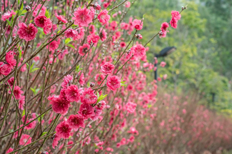 Tsz Shan Monastery Peach blossom