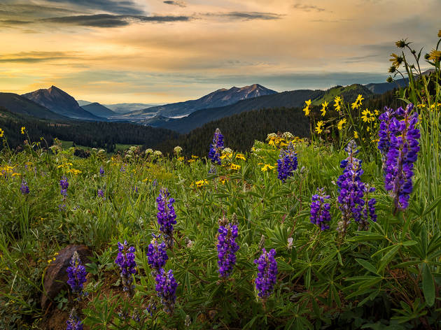 Purple wildflowers above Crested Butte at sunrise