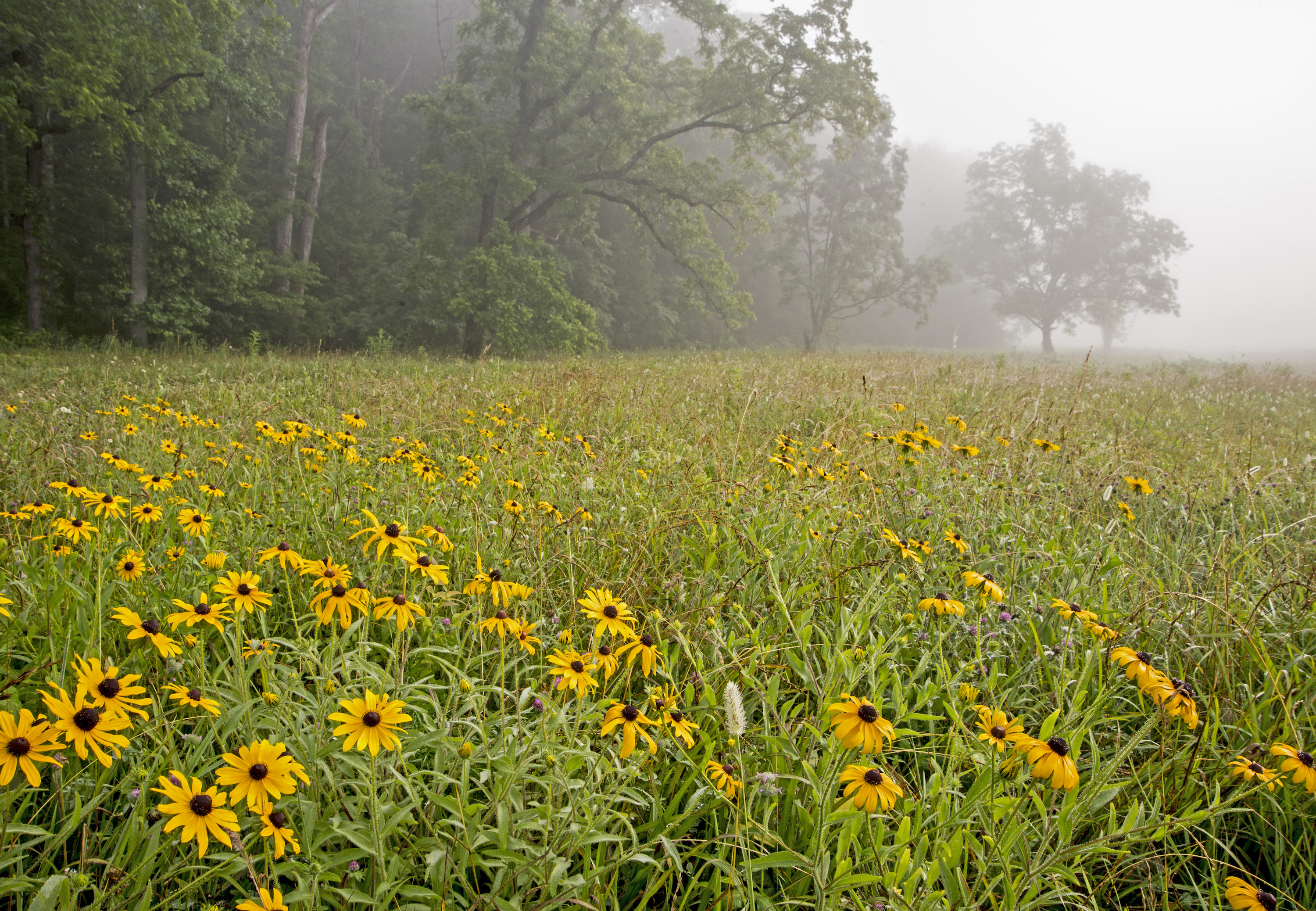Black Eyed Susans cover a field at dawn in Cades Cove.