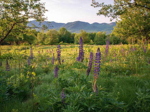 Lupine flowers in Sugar Hill at sunrise with the White Mountains of New Hampshire