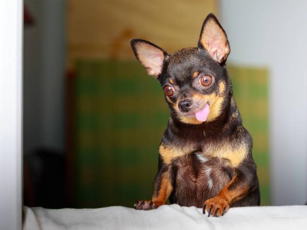 Este es el perro más popular en México