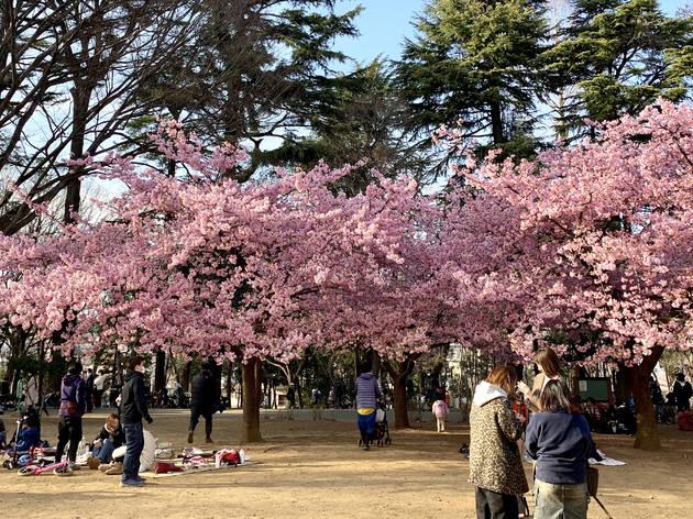 Winter cherry blossoms at Rinshi-no-mori Park