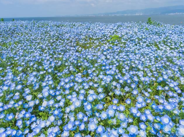 Nemophila Osaka Seaside Park