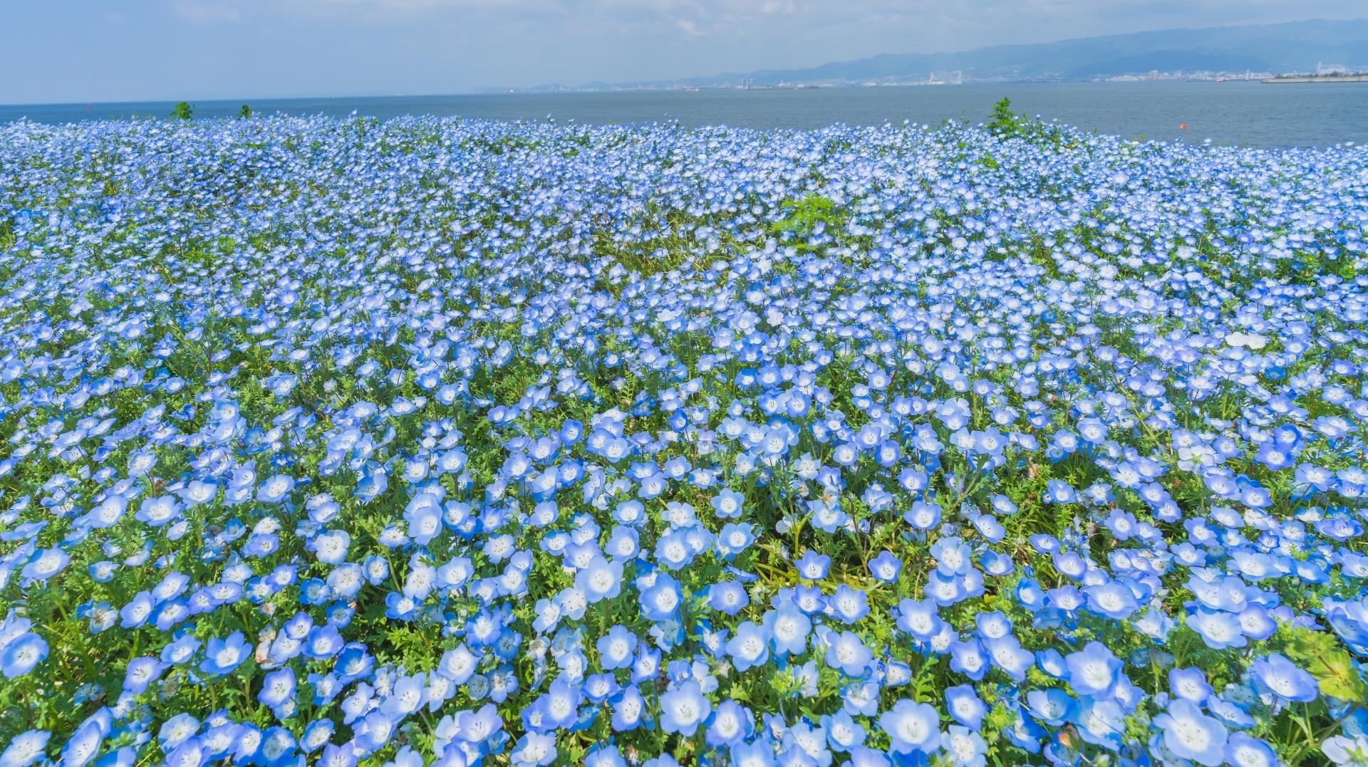 See a million nemophila flowers blooming at Osaka Maishima Seaside Park this spring