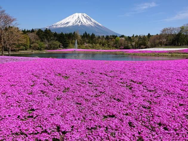 Fuji Shibazakura