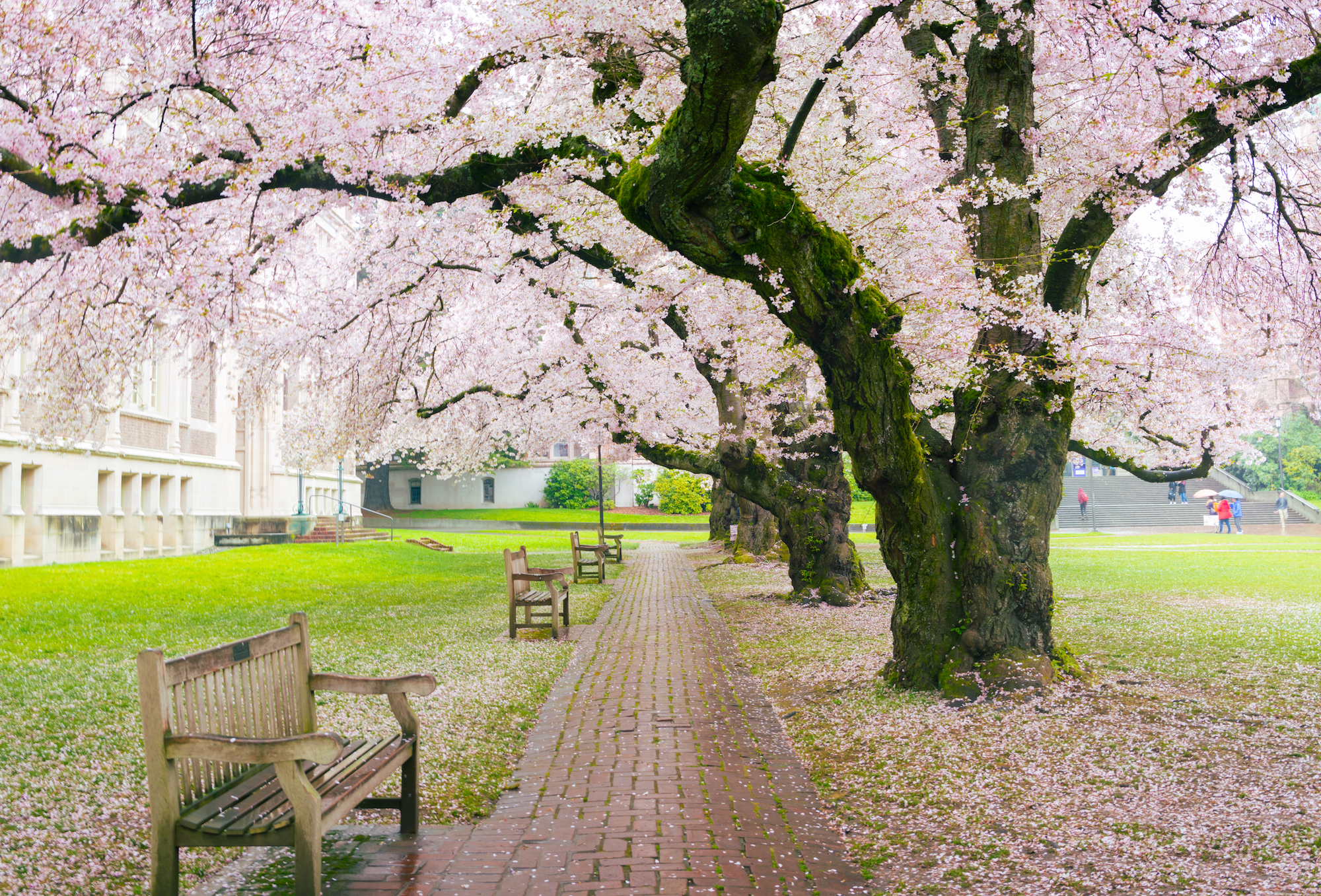 Seattle cherry blossoms, University of Washington