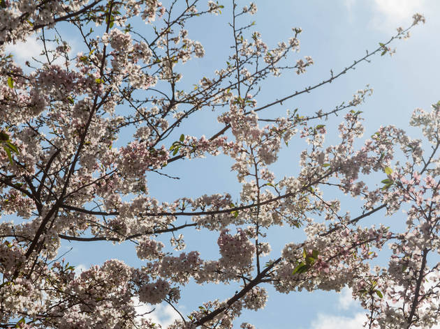 White,Cherry,Blossoms,At,The,Dallas,Arboretum