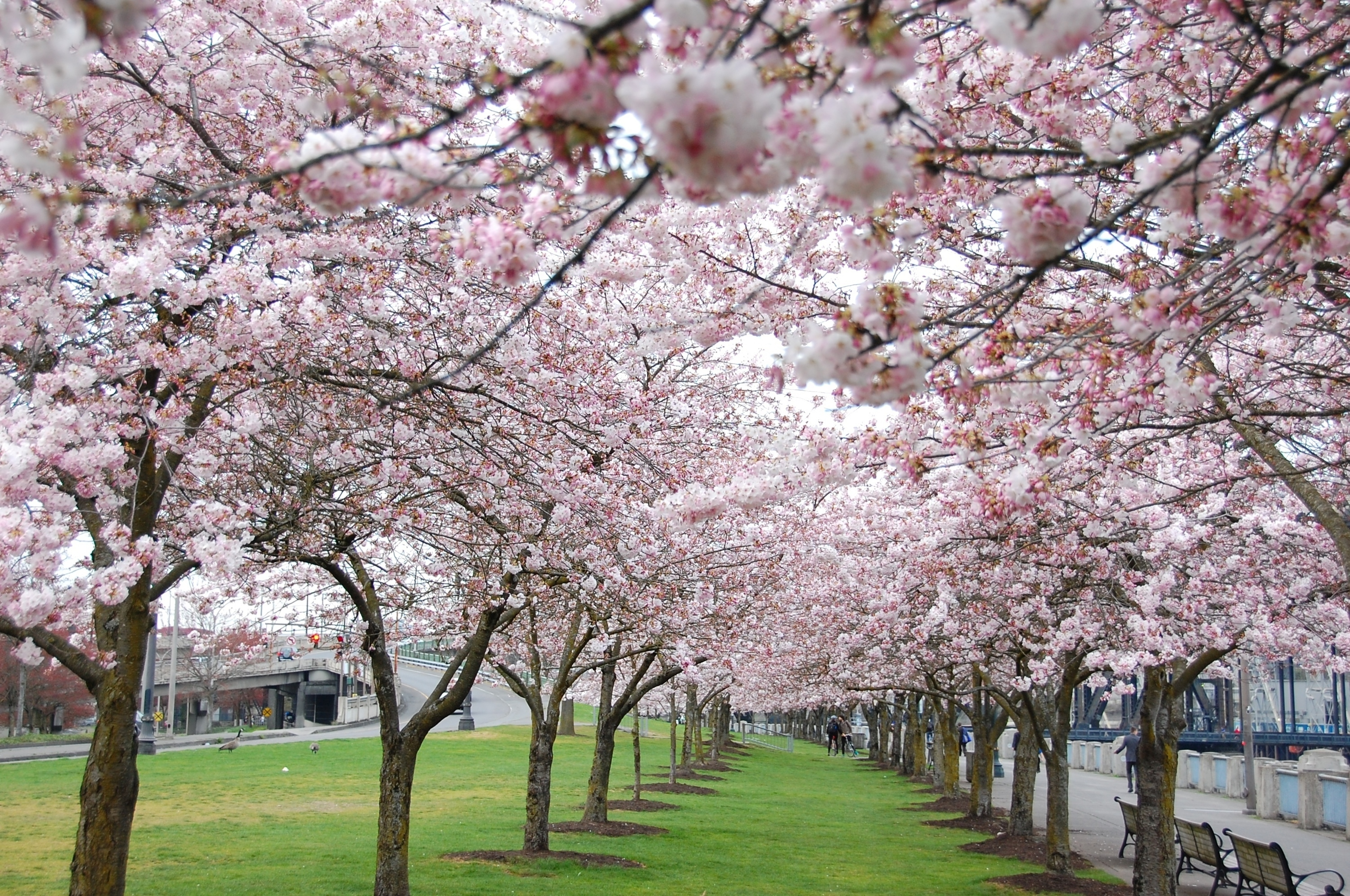 Cherry,Blossoms,At,The,Japanese,American,Historical,Plaza,In,Portland