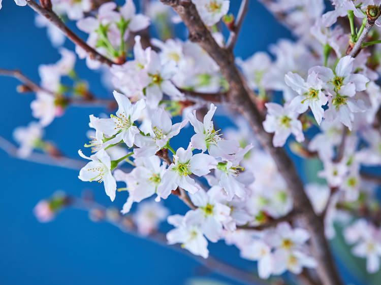 自粛中の花見は、桜の枝や旬のブーケを自宅に迎えて