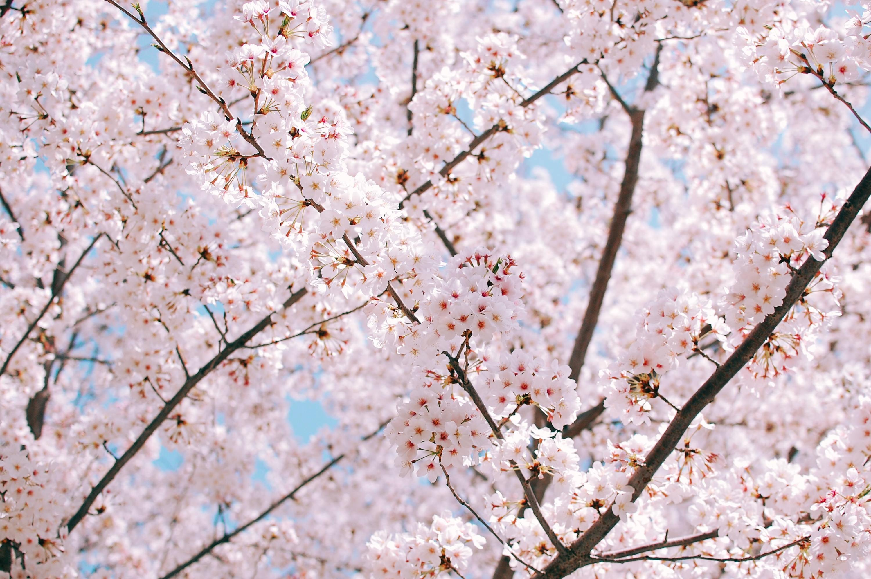 9 Things You Didn T Know About Cherry Blossoms Time Out Tokyo