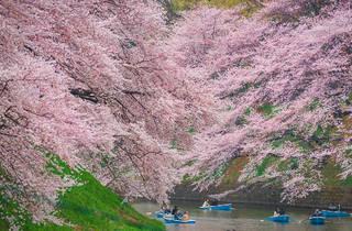Navapon Plodprong/Dreamstime | Sakura at Chidorigafuchi Moat
