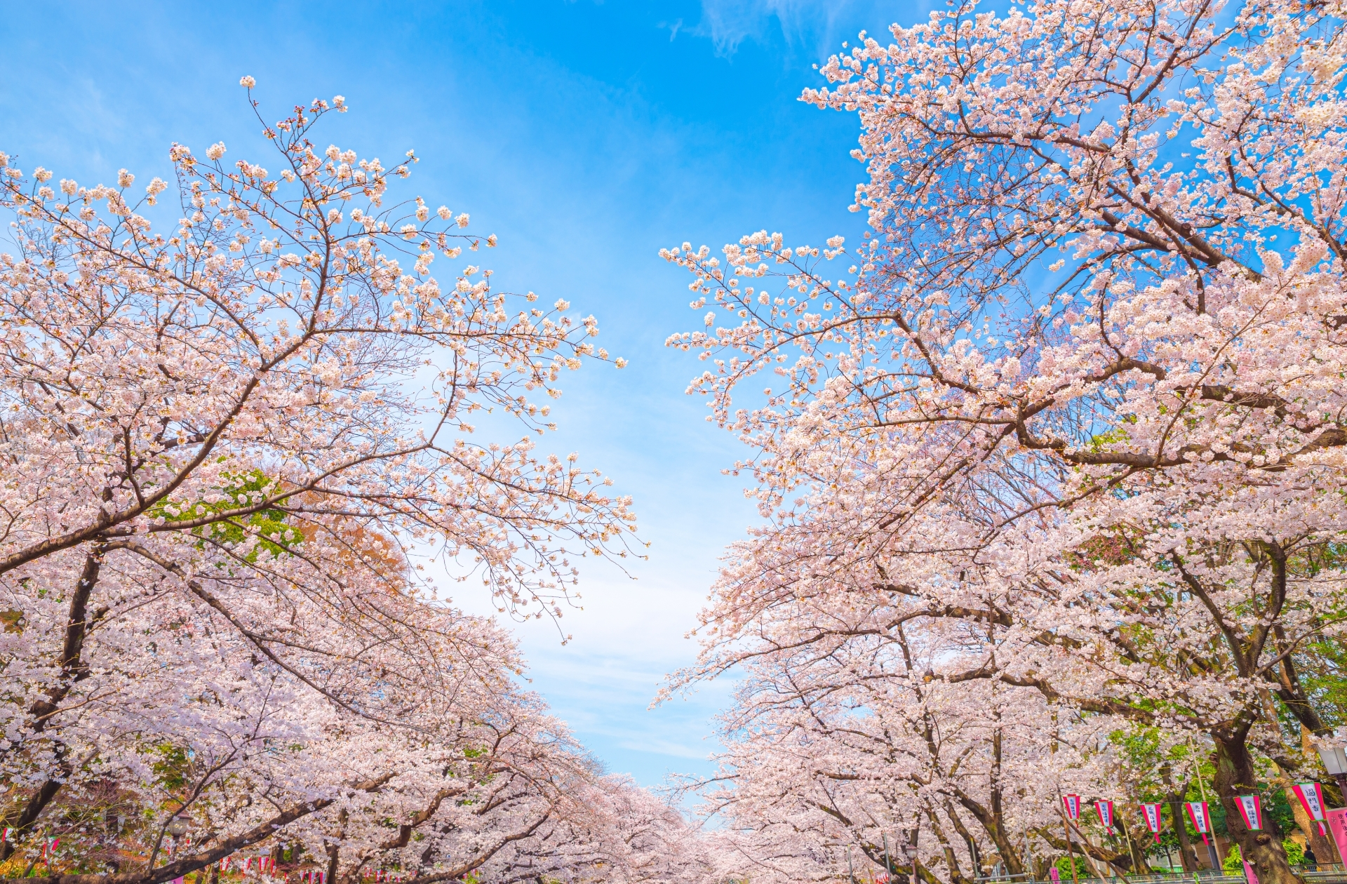 Can You And Should You Go See The Cherry Blossoms In Tokyo This Year