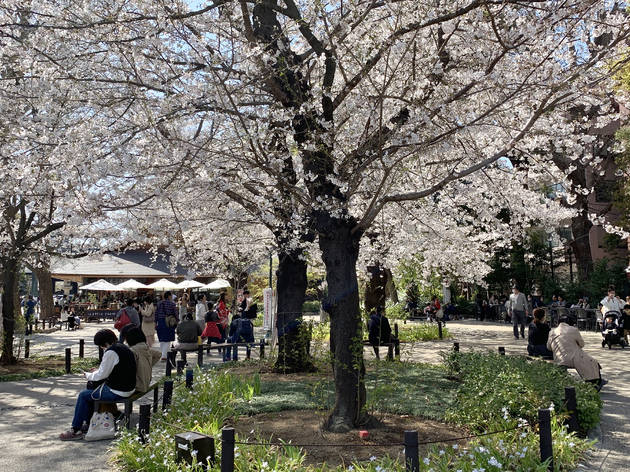 Yasukuni Shrine cherry blossoms 2021