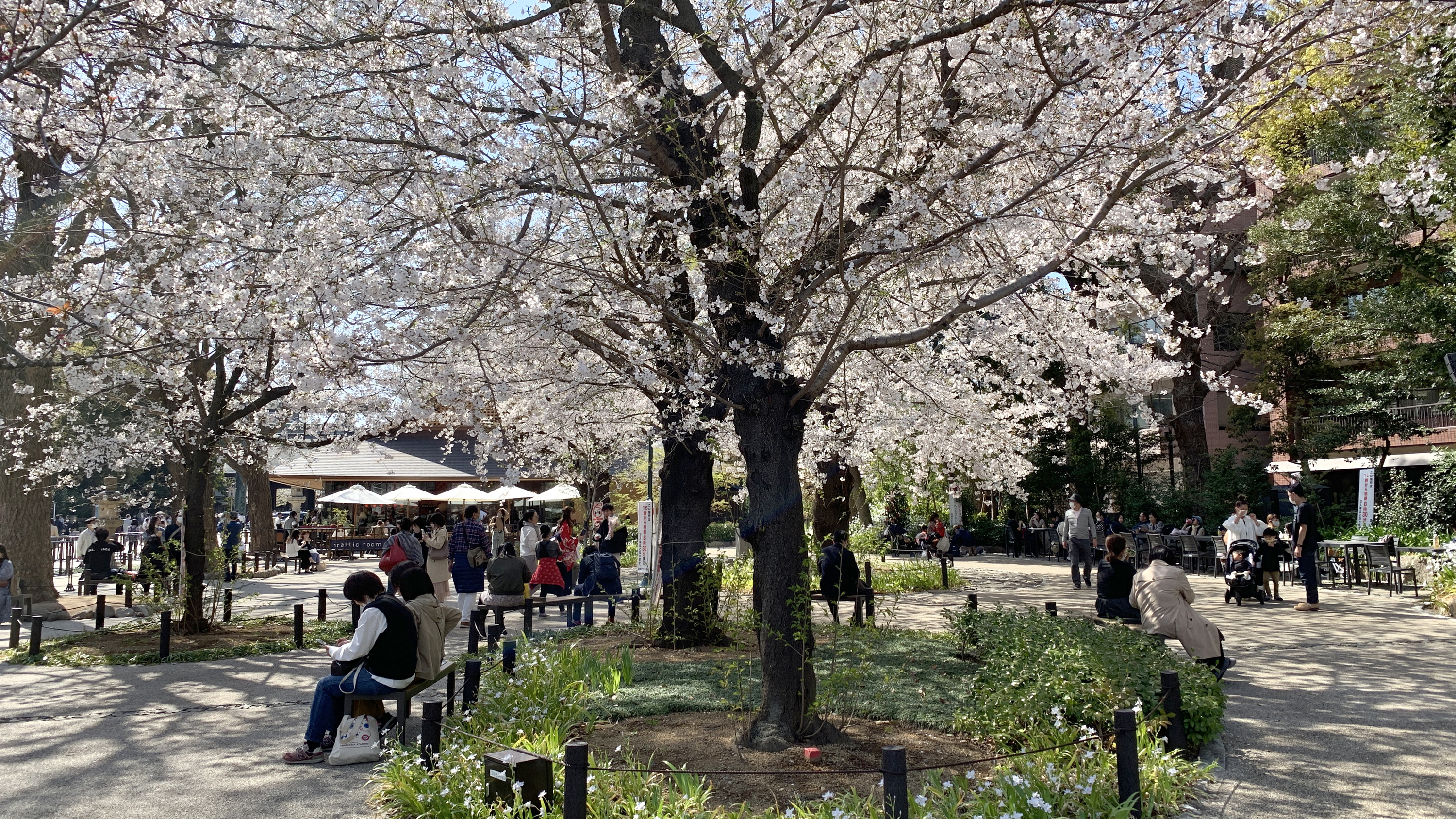 Cherry blossoms, sakura, Yasukuni Shrine