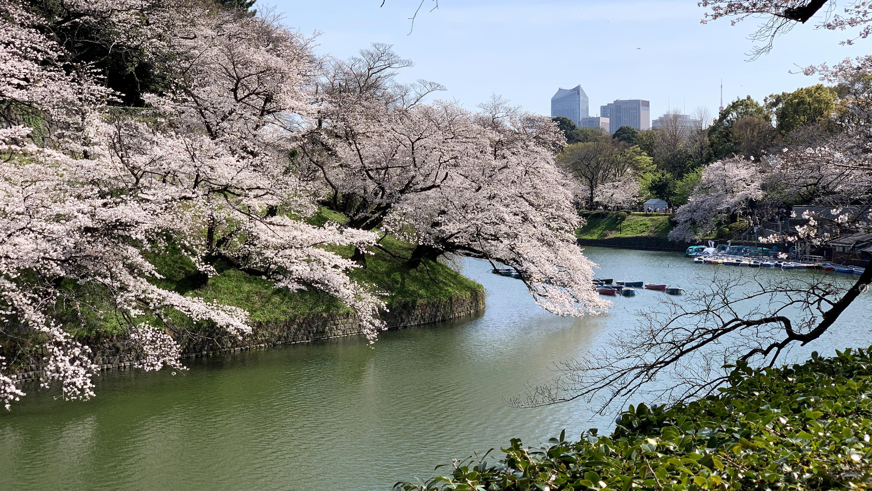 Chidorigafuchi Moat, cherry blossoms, sakura