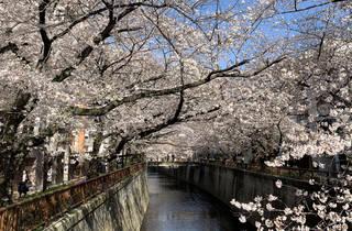 Cherry blossoms at Meguro River 2021