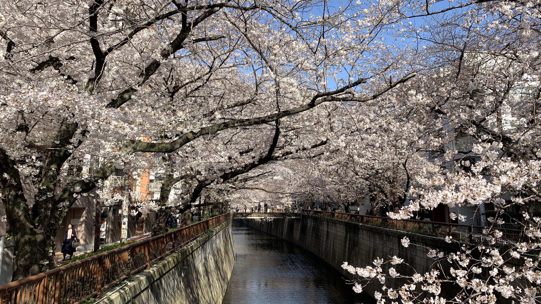 Cherry blossoms, Meguro River, sakura