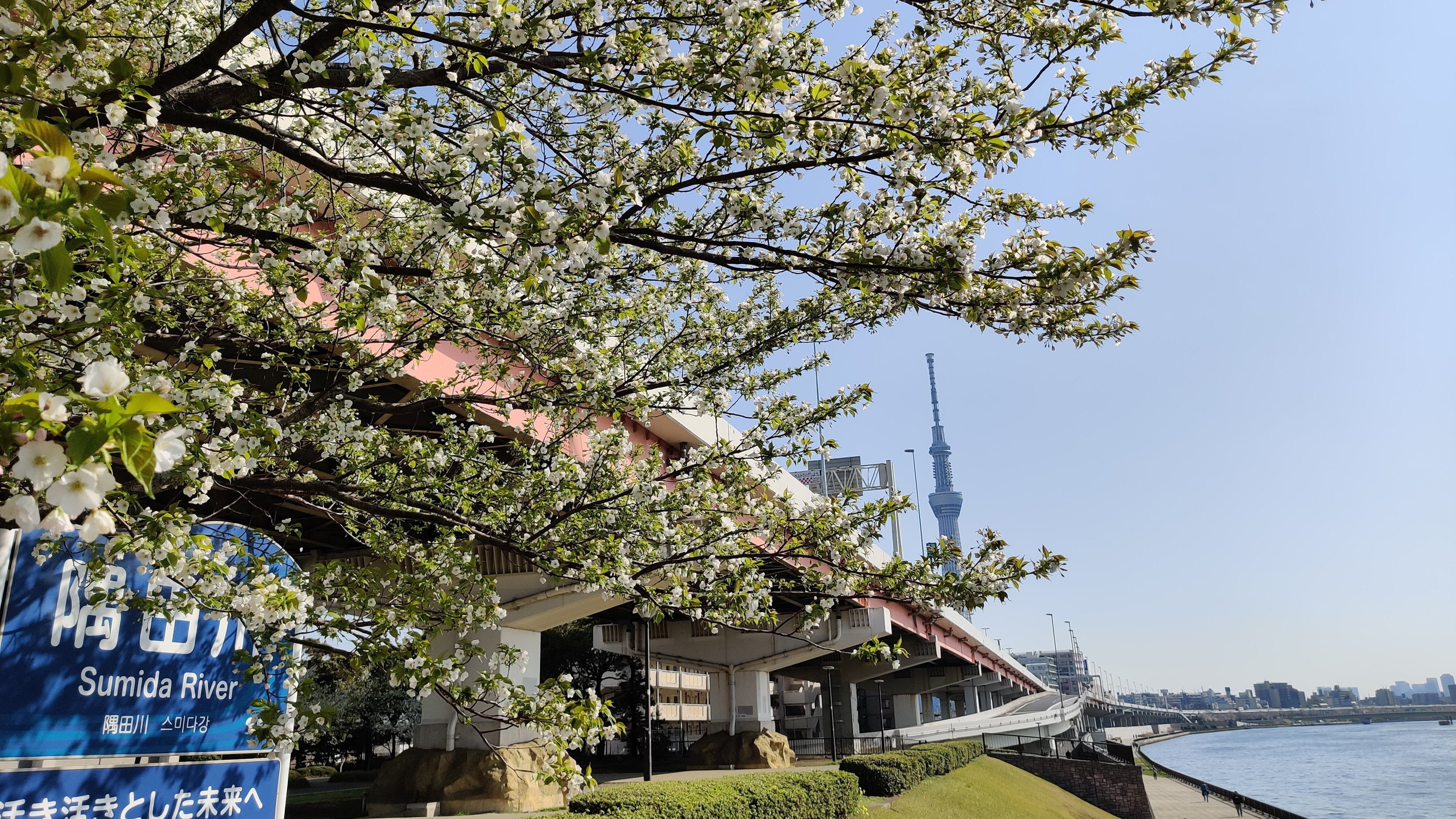 Sumida River, cherry blossoms, sakura, Skytree