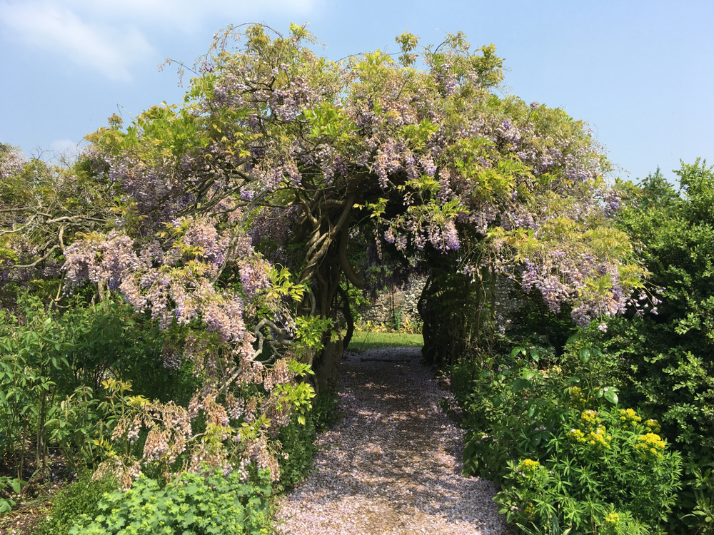 Greys Court Wisteria