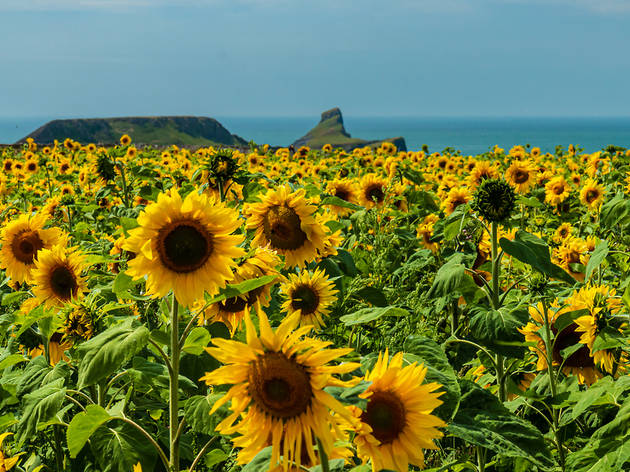 sunflowers wales