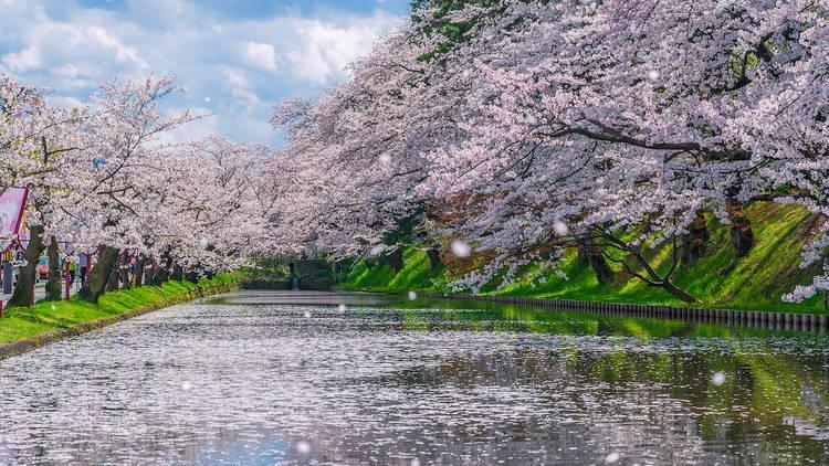 Hirosaki Castle cherry blossom blizzard_弘前城之漫天飛櫻