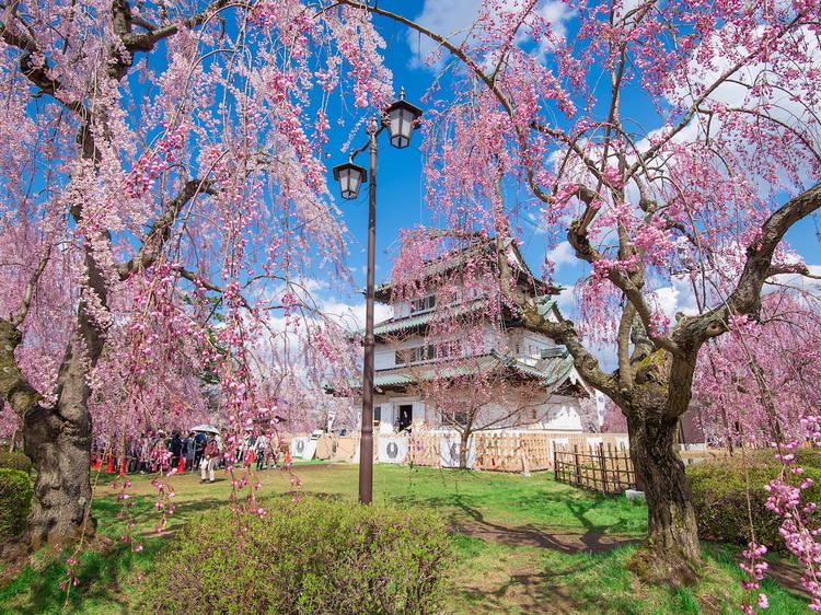 青森:春櫻盛開絕景迷人