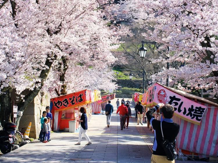 鳥取縣:獨霸櫻花樹