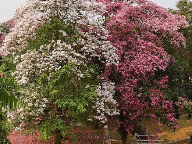 See Singapore in bloom as the trumpet trees start flowering