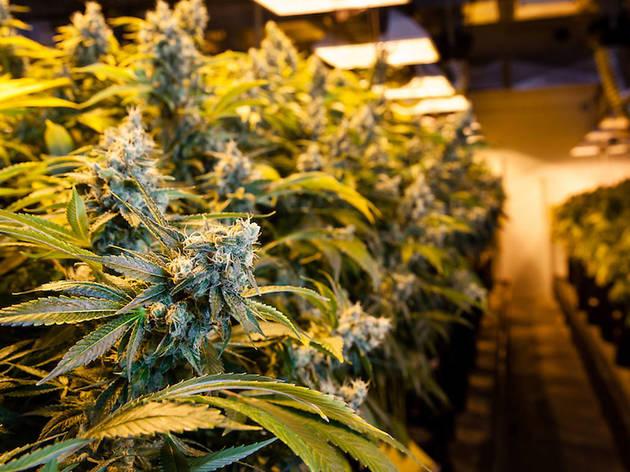 ニューヨーク州で娯楽用大麻が解禁